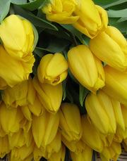 Голландские тюльпаны оптом к 8 марта 2015