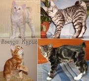 Короткошерстные котята Курильского бобтейла