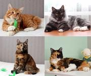 Полудлинношерстные котята Курильского бобтейла продаются