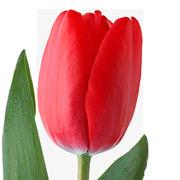 Голландские тюльпаны оптом из теплицы Трифлор